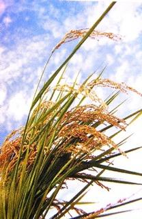 酵素米 稲.jpg