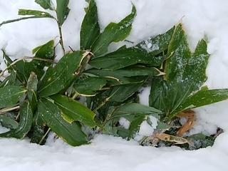 雪の下のクマザサ.jpg